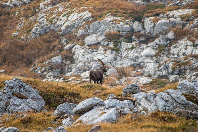 Mighty alpine ibex in mountains. Triglav national park Bohinj, Slovenia stock photo