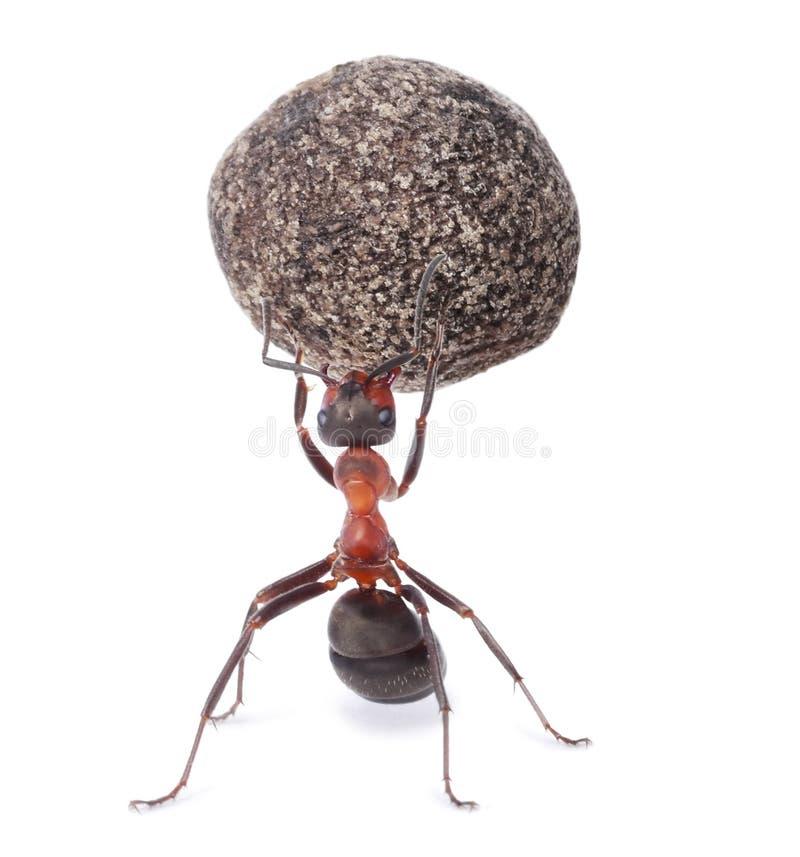 Ant holding heavy stone. Mighty ant holding heavy stone stock photos
