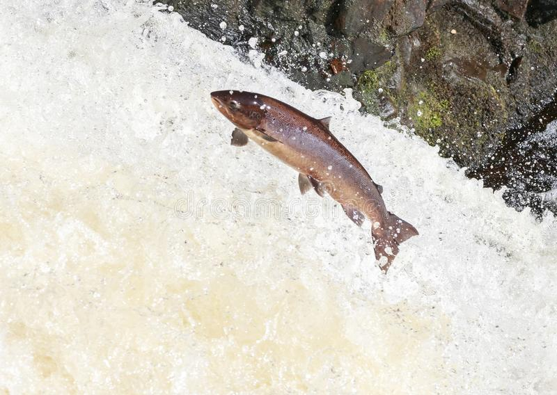 Leaping salmon at the falls of shin. Mighty atlantic salmon travelling to spawning grounds during the summer in the Scottish highland. The salmon in this picture royalty free stock photography