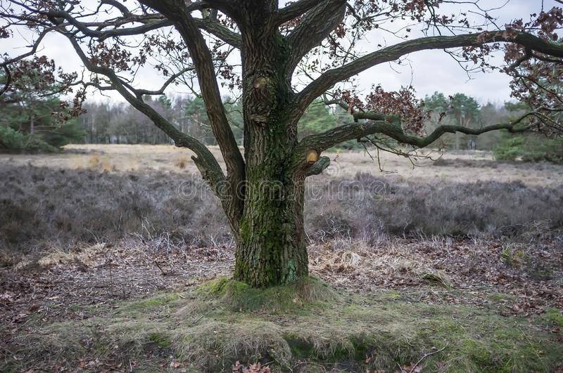 Mighty oak tree with last year`s dry foliage, against a background of meadows and forests, on a cloudy spring day royalty free stock images
