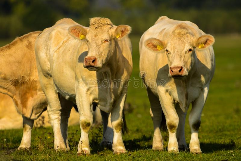 Mighty cows on a green meadow. In germany stock photography
