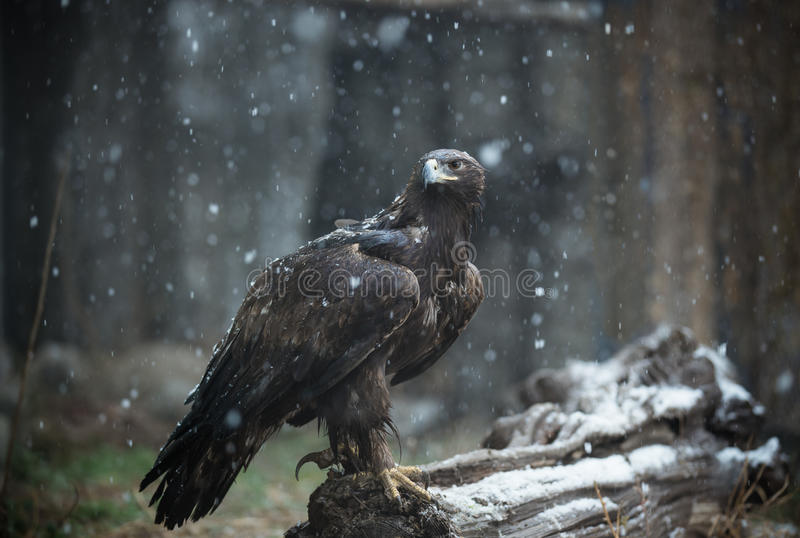 Mighty Eagle. In the cold snow, Eagle standing on the tree, it is so terrible stock images