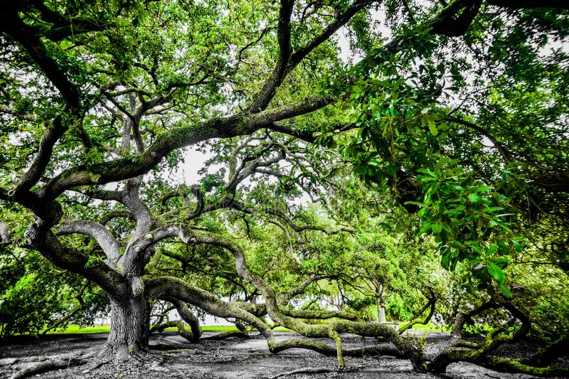 Mighty Live Oak stock images
