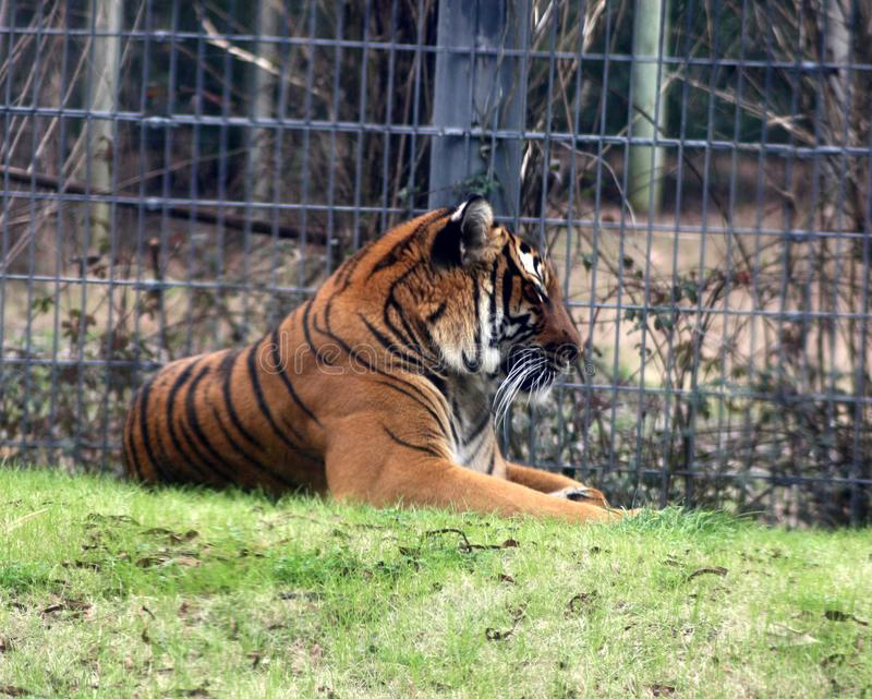 The mighty Malayan tiger in his pen. Tiger laying on a soft bed of grass showing his majestic stripes and muscled body royalty free stock image
