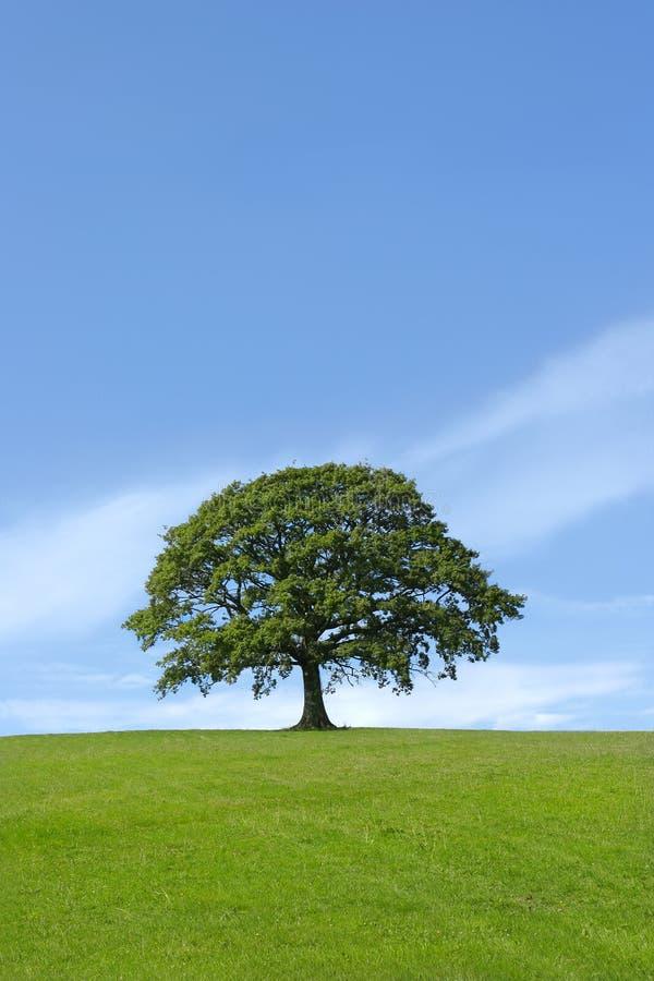 The Mighty Oak stock photo