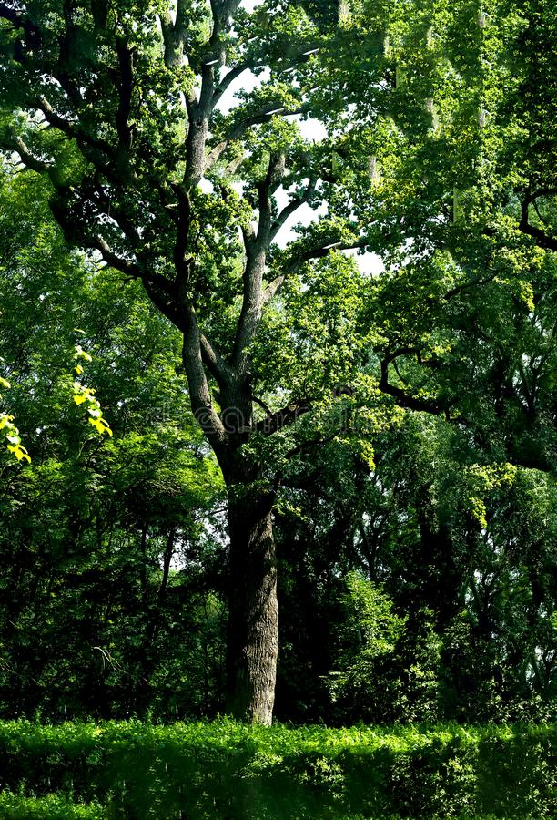 Mighty oak in the open air. The concept of national parks.Vertical. stock photo