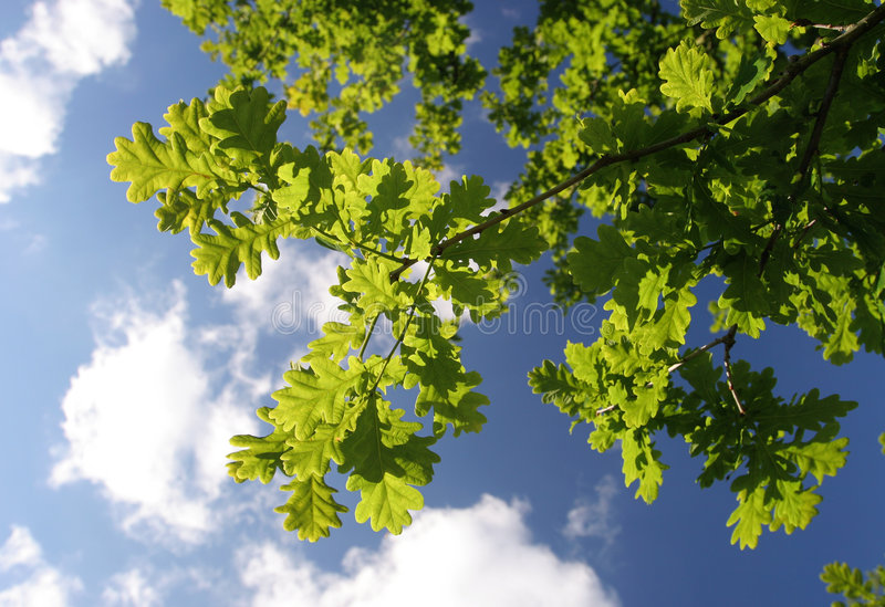 Mighty oak tree leaves shade stock photography