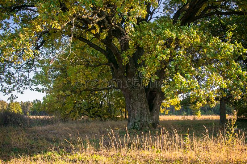 A mighty old ancient oak, standing alone on the edge of a relic oak grove.Golden autumn, lush yellow foliage. Relic oaks with lush crowns illuminated by the cold royalty free stock photos
