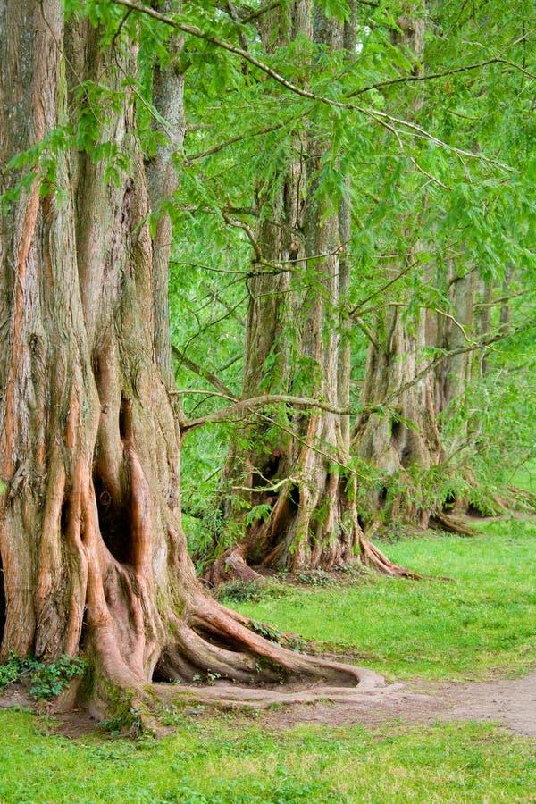 Mighty old oak trees stock photos