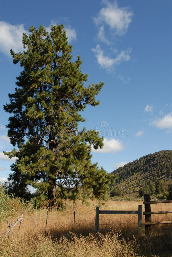 Download The Mighty Ponderosa Pine stock image. Image of field - 7342239