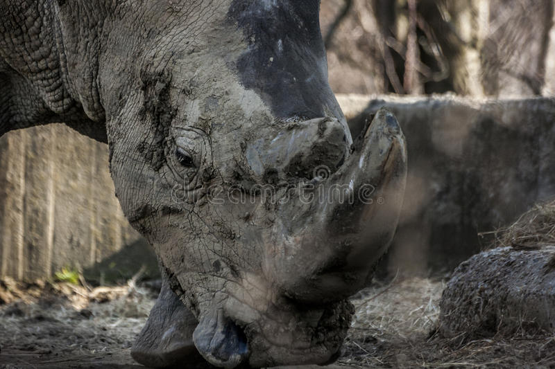 A Mighty Rhino. A picture of a rhino captured in Sofia Zoo, Bulgaria royalty free stock photography