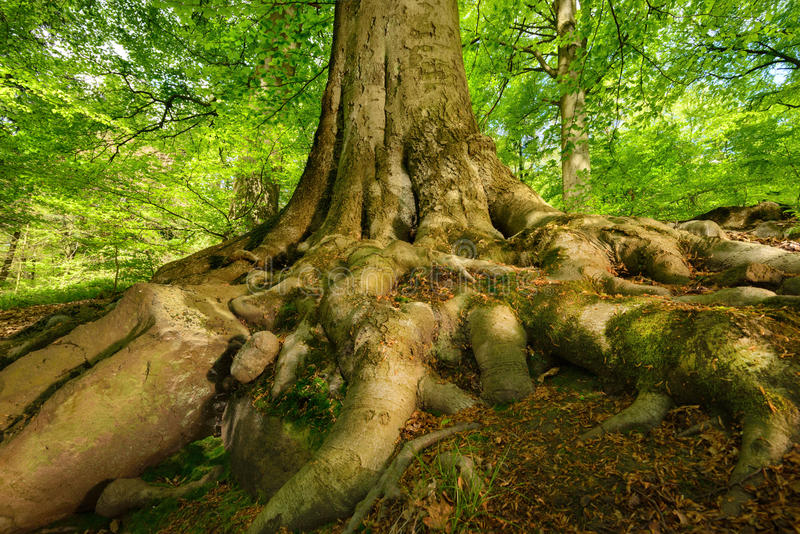 Mighty roots of a majestic beech tree. Mighty roots of a majestic old beech tree in a deciduous forest with beautiful light stock image