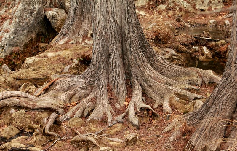 Mighty roots of a majestic old tree royalty free stock images