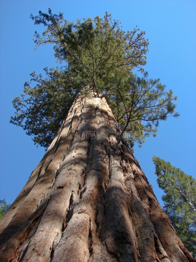 Mighty sequoia royalty free stock photography