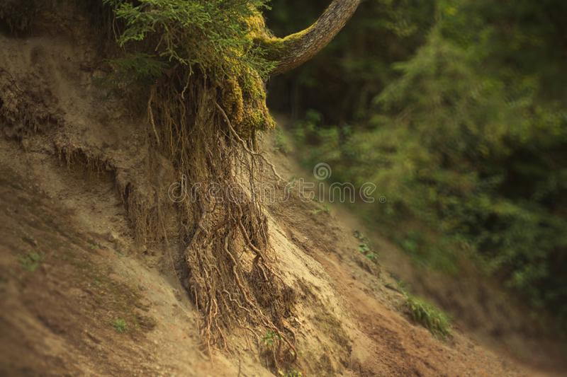 Mighty and strong long roots in the sand on the hillside of the land that has moved down, a young tree surrounded by. Green, wet, bright moss, the magnificent royalty free stock image