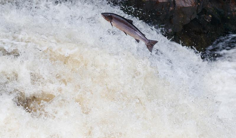 Large Atlantic salmon leaping up the waterfall on their way migration route to their spawning grounds. The mighty Wild Atlantic salmon travelling to spawning royalty free stock photo