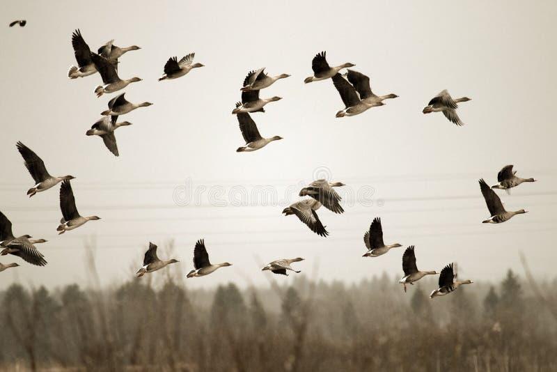 Migliaia di atterraggio delle oche (oca del fagiolo ed oca dal petto bianco) nel campo arato immagine stock