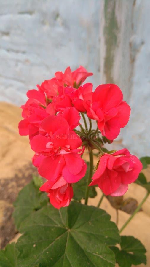 Migliore fiore del Sikkim fotografie stock libere da diritti