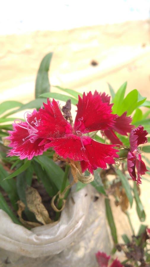 Migliore fiore del Sikkim immagine stock libera da diritti