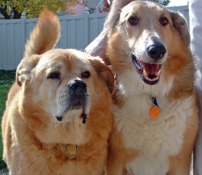 Download Migliori amici fotografia stock. Immagine di collie, dorato - 125026