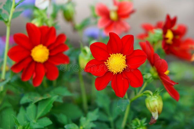 Mignon czerwony dahlia kwiat na osobistym spisku. Zako?czenie. g??boko?? pola p?ytki zdjęcie stock