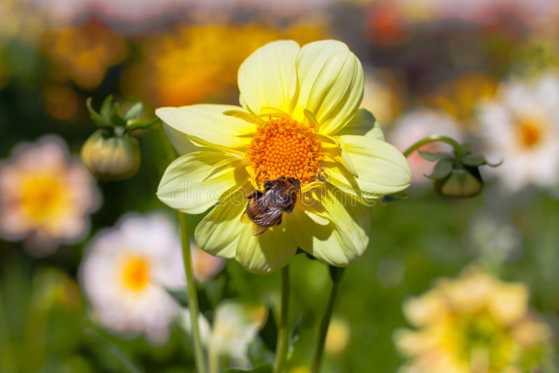 Mignon dahlia flower with bumblebee stock photo