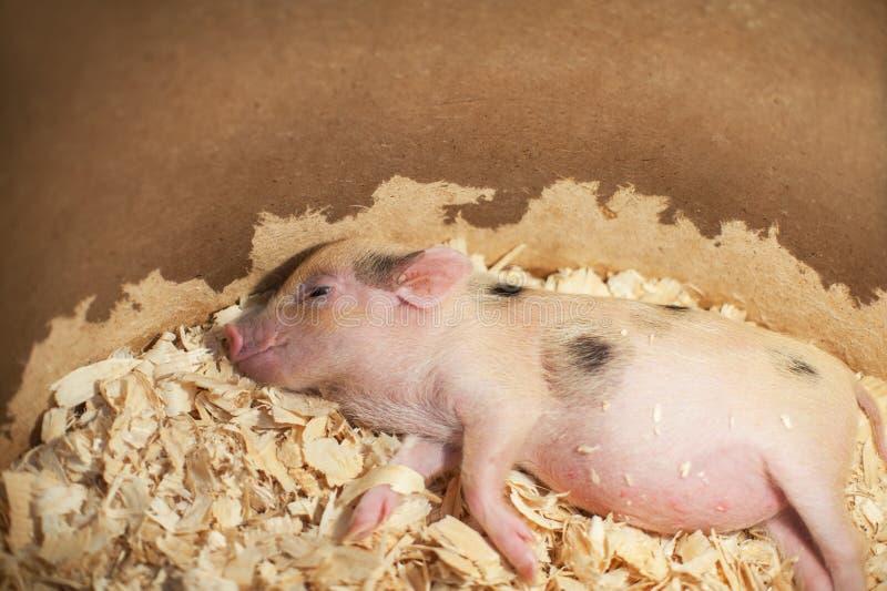 Mignon et petit porc de sommeil dedans photographie stock libre de droits
