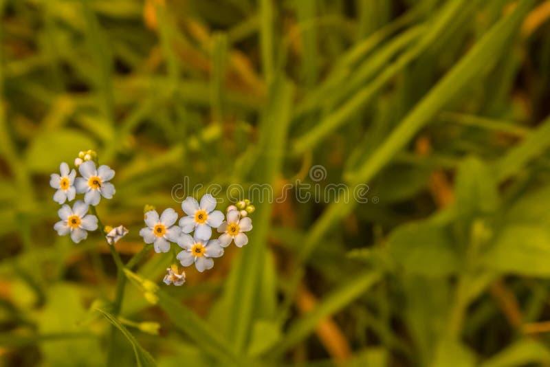 Mignons petits bleus oubliez-moi de ne pas fleurir dans l'herbe photos libres de droits