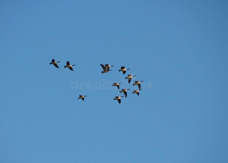 Download Migração foto de stock. Imagem de gansos, nave, ganso, selvagem - 532812