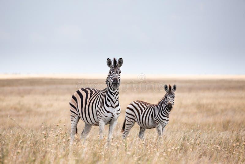 A migração das zebras em Makgadikgadi filtra o parque nacional - Botswana foto de stock