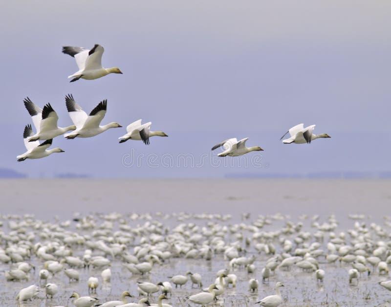 Migração do ganso de neve fotografia de stock
