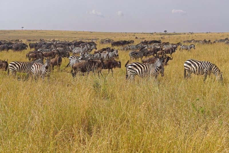 Migración animal África fotos de archivo