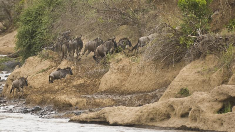 Migración anual del ñu en el Masai Mara fotografía de archivo