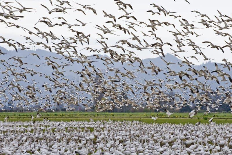 Migración de la multitud de los gansos de nieve fotografía de archivo libre de regalías