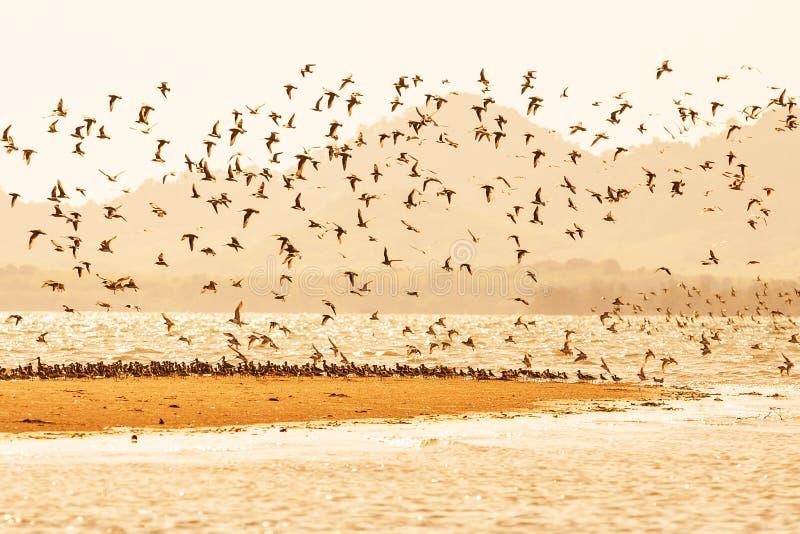 Migración de las aves costeras en la puesta del sol, multitudes de las aves costeras que vuelan sobre arenoso en el mar Estación  foto de archivo