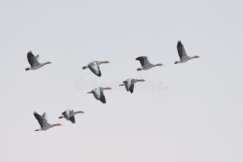 Migración de los gansos de ganso silvestre fotos de archivo libres de regalías