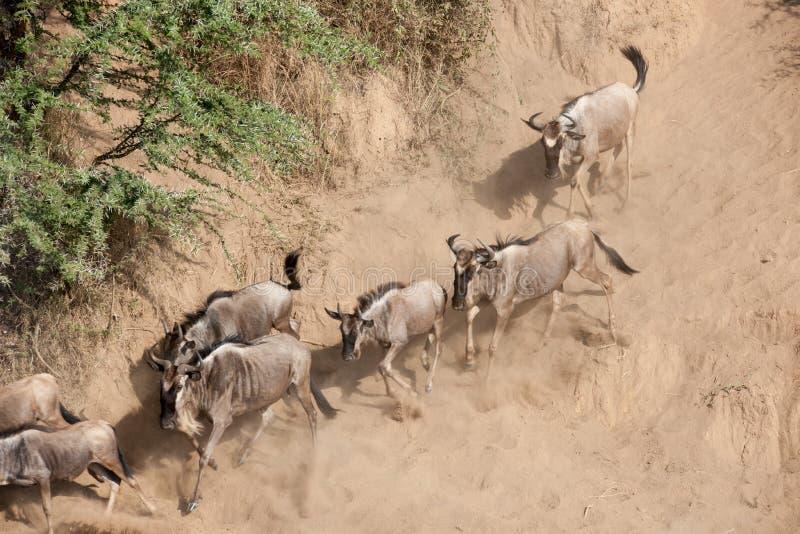 Migración del ñu imagen de archivo