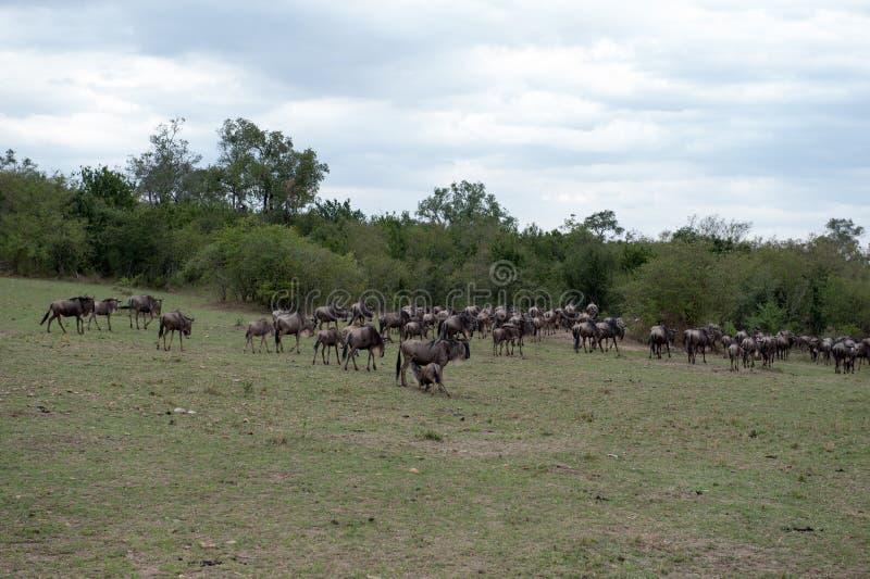 Migración del ñu imagenes de archivo