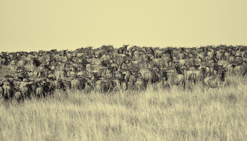 Migración en el río de Mara, Maasai Mara del ñu foto de archivo