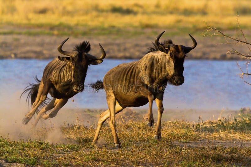 Migración más beest salvaje de Tanzania imágenes de archivo libres de regalías