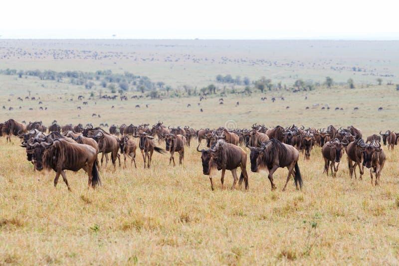 Migraci?n del Wildebeest en Kenia fotografía de archivo
