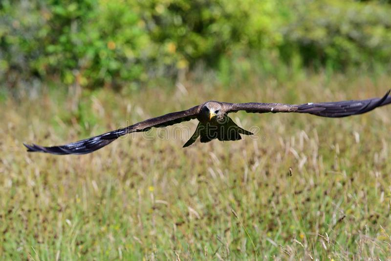 Migrans de Milvus de milan noir photo libre de droits