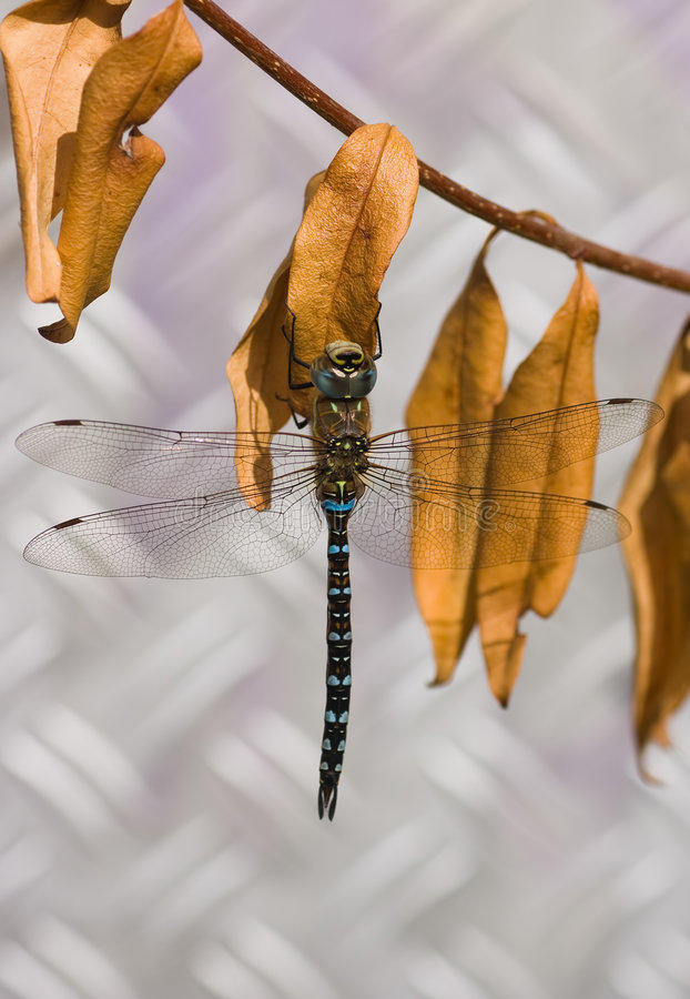 Migrant Hawker. The Migrant Hawker is one of the smaller species of hawker dragonflies royalty free stock photography