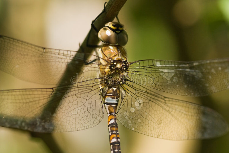 Migrant Hawker. On a branch in the shadow stock images