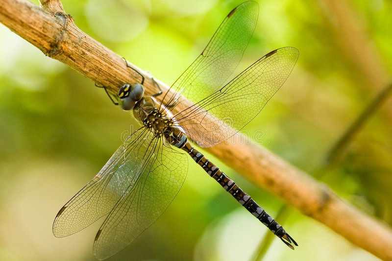 Migrant Hawker. Is resting on a branch royalty free stock images