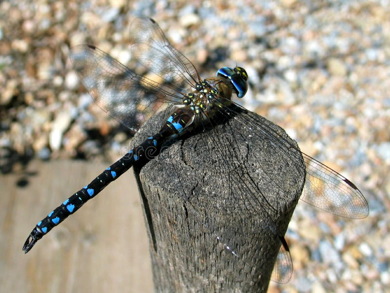 Migrant Hawker (Aeshna mixta). A Migrant Hawker (Aeshna mixta) atop a fence post, soaking up the sun's rays. Photographed at Le Poujol-sur-Orb, France royalty free stock photo