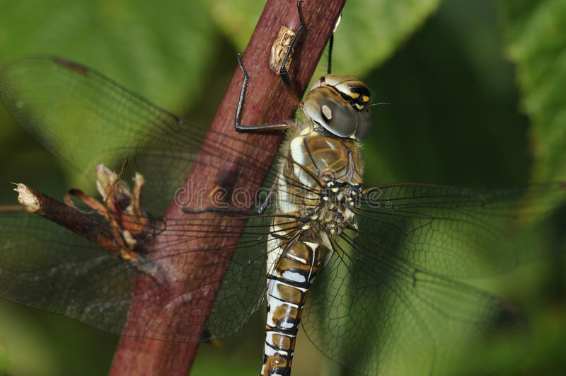 Download Migrant Hawker Dragonfly stock photo. Image of black - 26602346