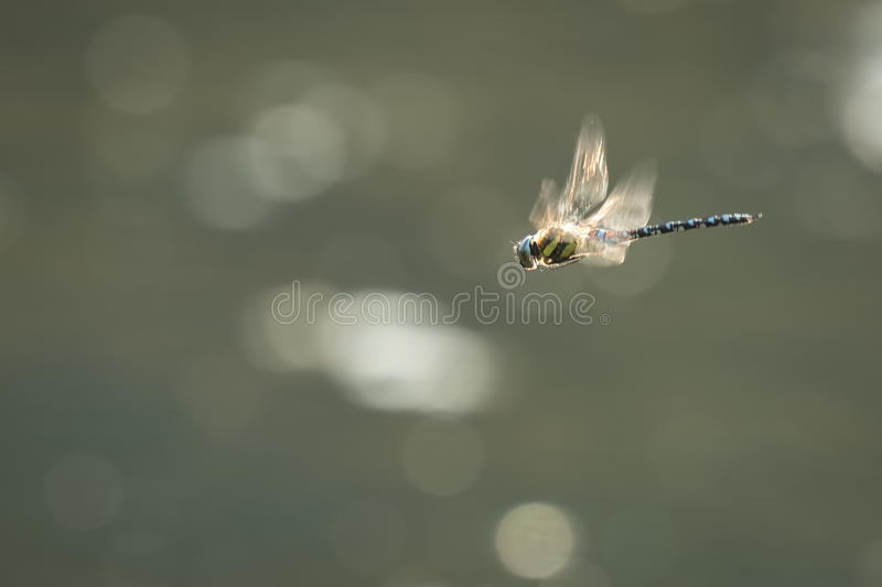 Migrant hawker dragonfly hunting stock photography
