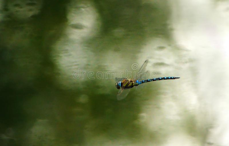 Migrant Hawker male Dragonfly. Aeshna mixta or Migrant Hawker dragonfly hovering over the water surface during September in the UK stock photos