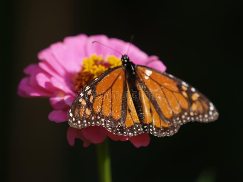 Migrateur de papillon de monarque photographie stock